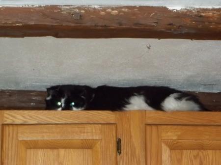 Cody (Cat)