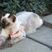 Sarabi (Siamese Cat)