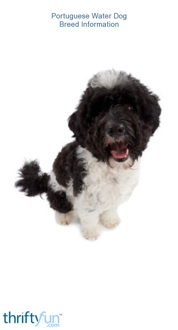 Portuguese Water Dog Breed Information And Photos