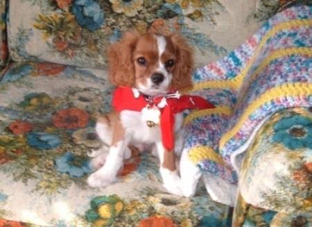 Mickey (Cavalier King Charles Spaniel)