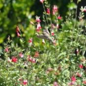 hummingbird in English garden
