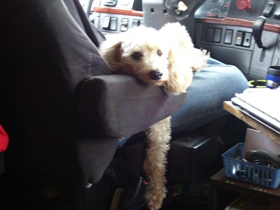 Skipper (Poodle)