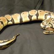 Tan, white, and black snake.