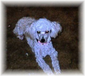 Buffy (Toy Poodle)