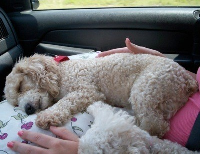 A toy poodle asleep in the back of a car.