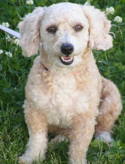 Harley (Toy Poodle)
