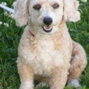 Harley (Toy Poodle)