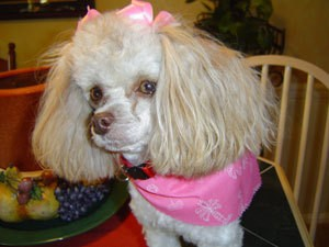 Crickett (Toy Poodle)