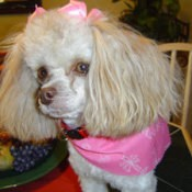A white toy poodle with pink bows and a pink kerchief.