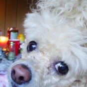 A white toy poodle very close to the camera.