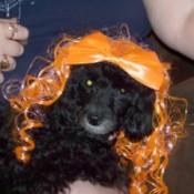 Ringo (Toy Poodle)