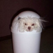 A toy poodle inside a garbage can.