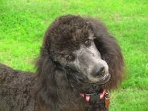 Kiara (Blue Standard Poodle)