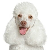 Poodle Breed Information and Photos