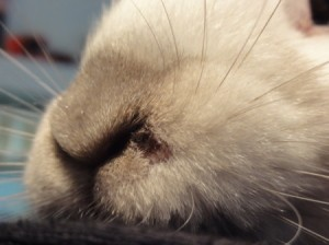Sore on rabbit's nose