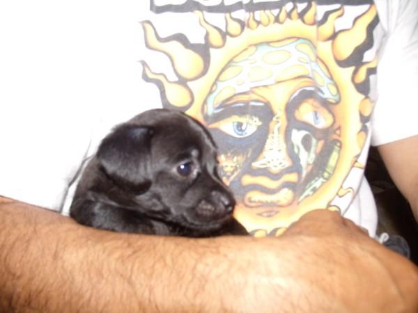 Perla del Mar (Maltese/Chihuahua)