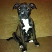 Dark brown and white puppy