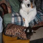 Goat and Dog on Sofa