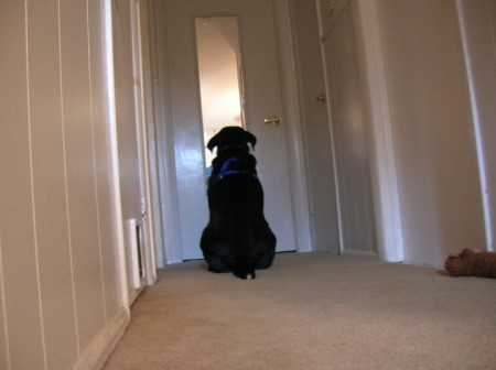 Phoebe (Dog) - a black dog looking into a mirror down the hallway.