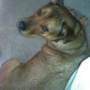 Mixed breed brown dog