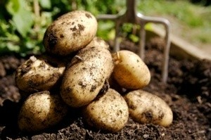 A pile of potatoes freshly dug up.