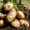 A pile of potatoes freshly dug up.