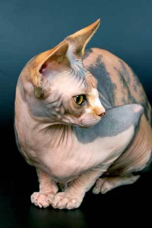 Sphynx Breed Information and Photos | ThriftyFun