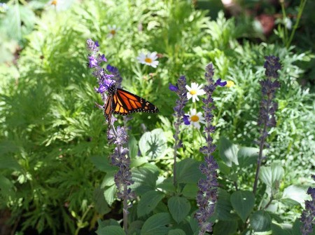 Monarch Butterfly (Santa Barbara, CA)