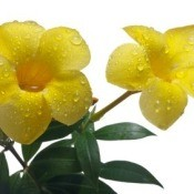 Growing Allamanda