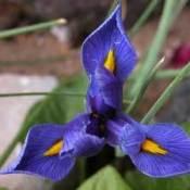 Miniature Iris (Dwarf Iris)