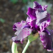 Growing Bearded Irises