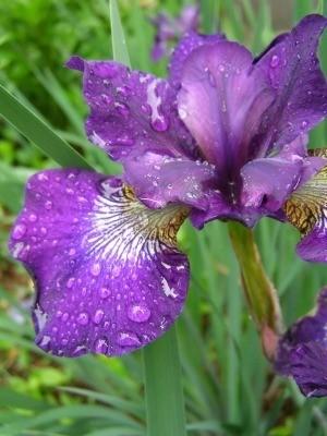 Deadheading Irises
