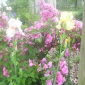 Irises and Azaleas