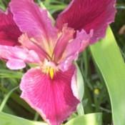 Irises in the Spring