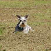 Miniature Schnauzer on grass