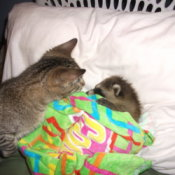 Tabby cat watching raccoon sleep.