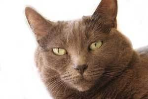 Burmese Cat - closeup of cat