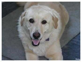 Lilly (Labrador Retriever)