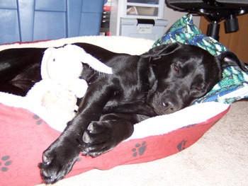 Zoee (Labrador Retriever)