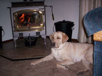 Chloe (Yellow Labrador Retriever)
