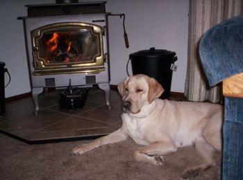 Chloe (Yellow Labrador Retriever)