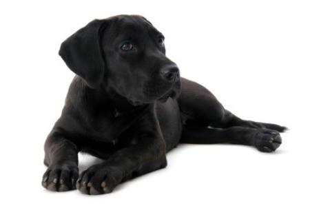 Labrador Retriever Breed Information and Photos