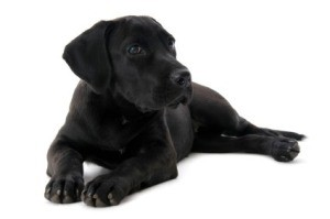 Labrador Retriever Breed Information and Photos