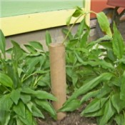 Paper towel tube supporting a sunflower seedling.