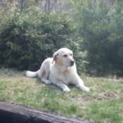 In Memory Of Tina (Yellow Labrador Retriever)