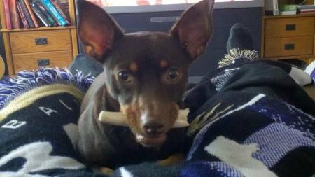 Bean (Min Pin Chihuahua)