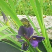 Frog (Loretto, TN)