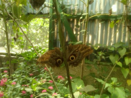 Two Blue Morpho butterflies on plant stem.