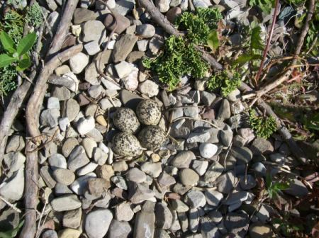 Killdeer eggs in a nest of stones.