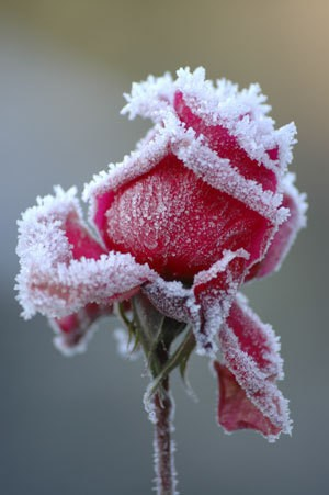 Photo of a rose with frost on it.